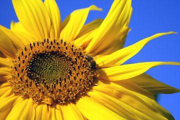 Classic Bird Sonnenblumenkerne, weiss 20kg